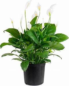 Pflanzen Für Schlafzimmer : 10 pflanzen f r das schlafzimmer die deine gesundheit und schlafqualit t verbessern k nnen ~ Eleganceandgraceweddings.com Haus und Dekorationen