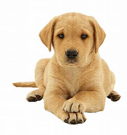 Labrador Bez Tła Pies Chiot Picmix Puppy