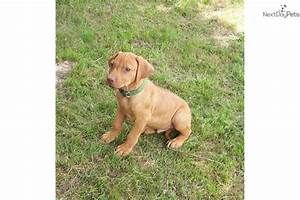 Meet Rouge Green male a cute Rhodesian Ridgeback puppy for ...