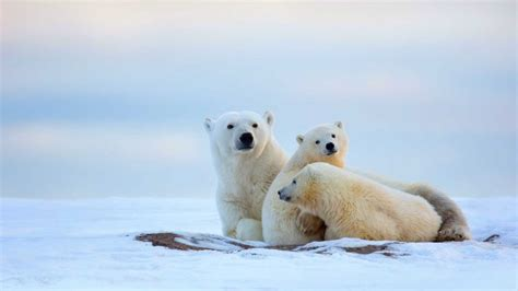 Animals Polar Bear Family Hours Of Rest Desktop Wallpaper