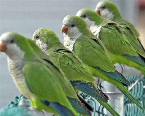 Green Parrots Make Their Home In Freeport
