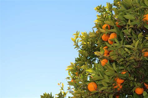 piante da frutto in vaso piante da frutto in vaso un frutteto sul terrazzo