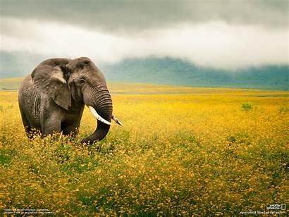 Geographic National Animals Elephants Desktop Wallpapers Background