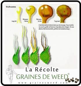 Quand Planter Le Muguet : quand r colter les t tes de cannabis graines de weed ~ Melissatoandfro.com Idées de Décoration