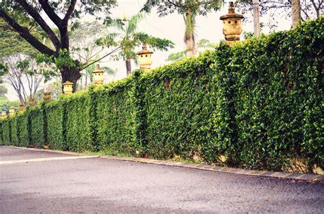 green garden fence озеленяем изгородь живая изгородь на polostroy org 1374