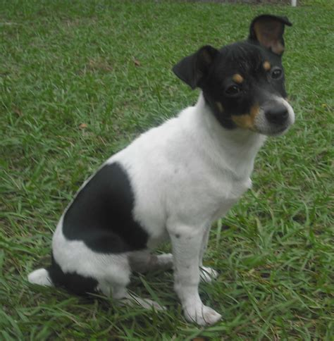 rat terrier shedding terrier black or black and terrier