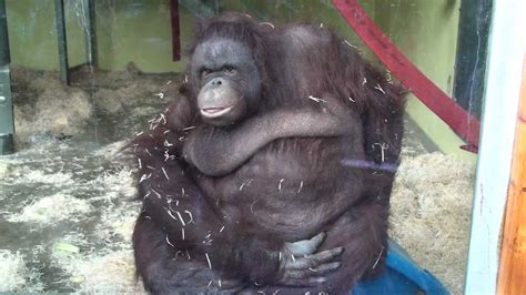 Fat Orangutan Fail [original]