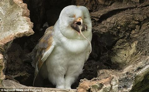 Barn Owl Enjoys A Spot Of Dinner