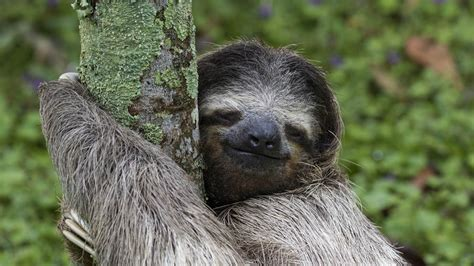 Sloth Images Three Toed Sloth Costa Rica 169 Tilo G 1