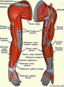 The Muscles Of The Arm And Hand Are Specifically Designed