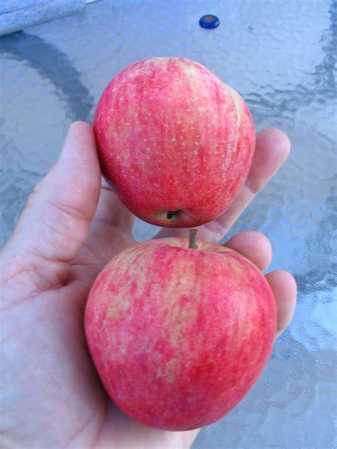 Apple tree photos…Part II   Mandy's Greenhouse