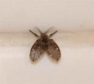 drain fly moth fly sewer gnat oak ridge tn in my With large flies in bathroom