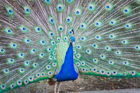 colorful peacock colorful peacock pictures