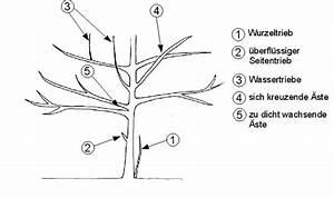 Kirschbaum Richtig Schneiden : baumschnitt geh lzschnitt tabelle wann man welchen ~ Lizthompson.info Haus und Dekorationen