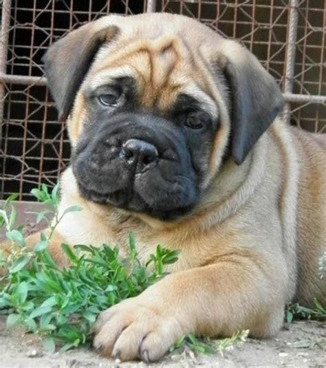 bullmastiff puppy so stinking cute puppies