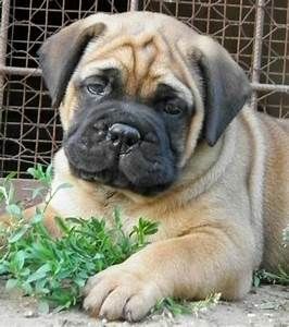 Bullmastiff Puppy!!! So stinking cute. | Puppies ...