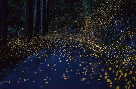 The Beautiful Flight Paths Of Fireflies  Arts & Culture