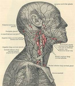 Superficial Lymphatic System And Lymph Nodes In The Area
