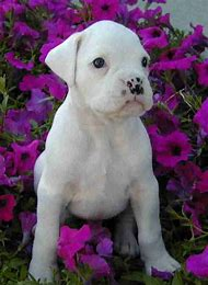 White Boxers Dogs and Puppies