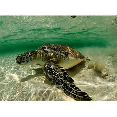 Animal You: Green Sea Turtle
