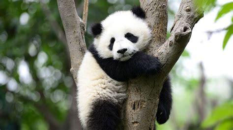 panda pandas albino giant columns csv read animals specific print hell way animal fact wild china research experts future digital
