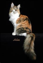 can cats see color or black and white cat colors quot with white quot