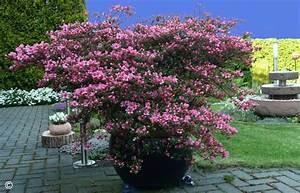Bäume Für Kübel : re rhododendron 4 ~ Michelbontemps.com Haus und Dekorationen