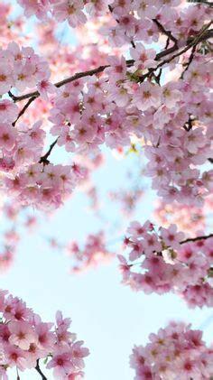 pin  nicole   wallpaper cherry blossom wallpaper