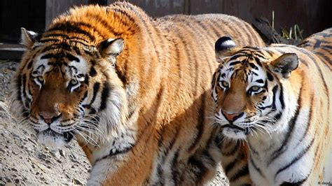tiger zoo tigers zoos animal abuse species siberian kills animals germany cologne dw extinction save lion breeding protection saving environment