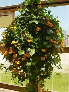 Indoor Hanging Plants Low Light Plants Flowers Thunbergia Alata