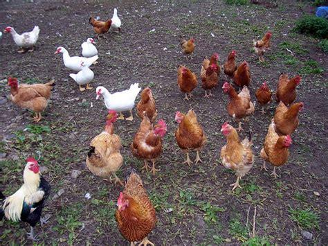 animali cortile animali da cortile ruspanti roncadizza l 252 maghera