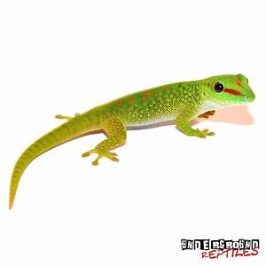 Baby Madagascar Giant Day Geckos For Sale - Underground ...