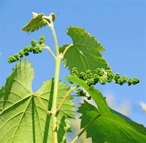 trim grape vines how to prune grape vines 3 ways to trim grapevines
