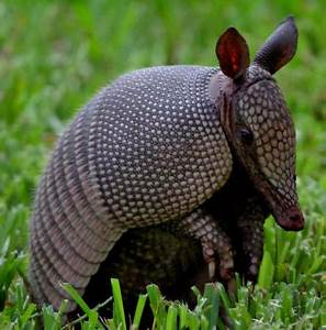 Nine banded armadillos are common in Yucatan's wilderness ...