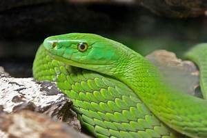 green mamba snakes - Green Mamba Snake, Very Alert and ...