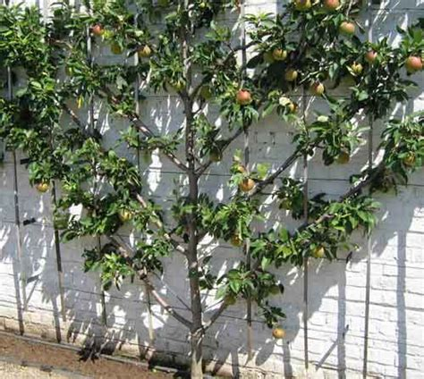 espalier fruit trees in containers clever ways to add space with creative vertical gardens