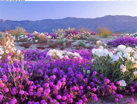 desert flowers anza places to wander the wildflowers this the