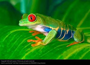 Frosch Als Haustier : rot ugiger baum frosch auf bl ttern ein lizenzfreies stock foto von photocase ~ Buech-reservation.com Haus und Dekorationen