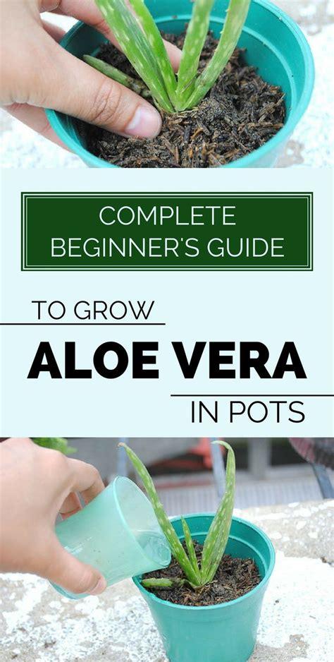 complete beginners guide  grow aloe vera  pots