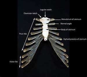 Sternum Labeled Gallery