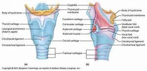 Larynx Diagram