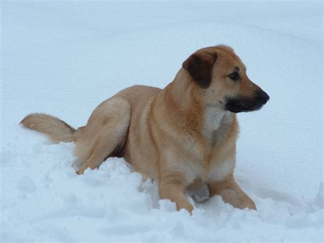 Chinook Dog Facts Temperament Care Training Puppies
