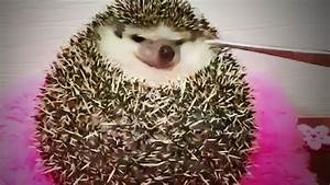 Funny Hedgehogs 😍 Cute Hedgehogs Being Funny (Part 1 ...