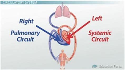 Essay On Pulmonary Circulation by Circulatory Essay Free System Pollutionvideohive Web Fc2