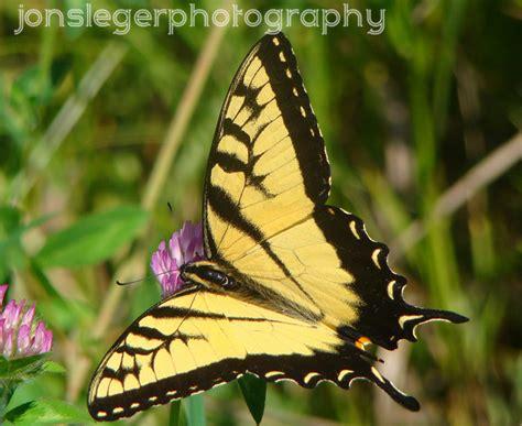 northern illinois birder eastern tiger swallowtail