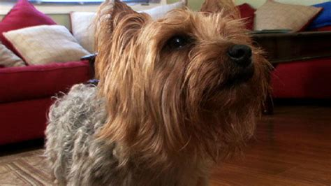 silky terrier dogs  animal planet