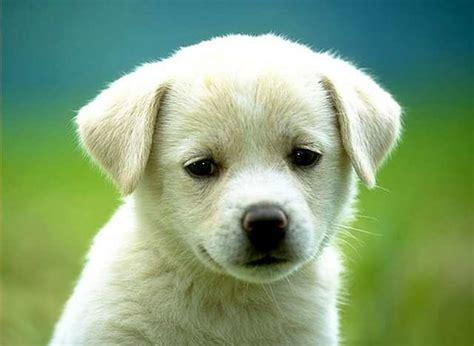 snow white dogies