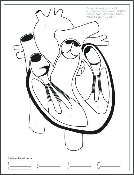 Cardiovascular System Drawing At Getdrawingscom  Free For Personal Use Cardiovascular System