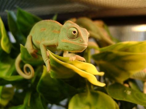 chameleon care best 25 veiled chameleon ideas on pinterest chameleons chameleon and baby chameleon