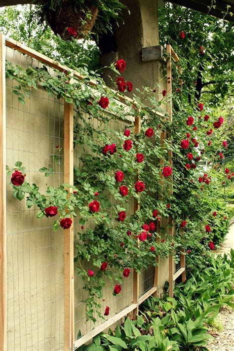 17 Best Ideas About Rose Trellis On Pinterest Trellis
